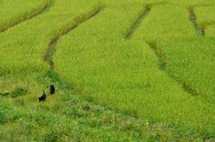 Rice paddy field and black dogs. Beautiful rice paddy field in Thailand Royalty Free Stock Photography