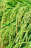 Rice Paddy in a Field. Close up of rice paddy in a field royalty free stock photos