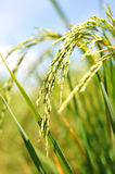 Rice Paddy in a Field. Close up of rice paddy in a field royalty free stock images