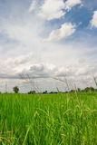 Rice Paddy field and Cloudy Stock Images