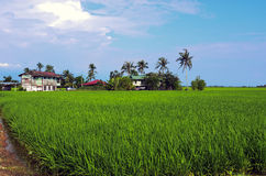 Rice paddy field in early stage at Malaysia. Coconut tree and ho Royalty Free Stock Image