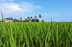 Rice paddy field in early stage at Malaysia. Coconut tree and ho Royalty Free Stock Photos