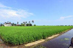 Rice paddy field in early stage at Malaysia. Coconut tree and ho Stock Images