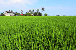 Rice paddy field in early stage at Malaysia. Coconut tree and ho Stock Photo