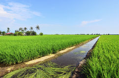 Rice paddy field in early stage at Malaysia. Coconut tree and ho Royalty Free Stock Photography