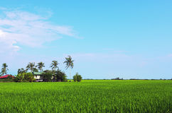 Rice paddy field in early stage at Malaysia. Coconut tree and ho Stock Photography