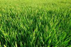 Rice paddy field. Stock Images
