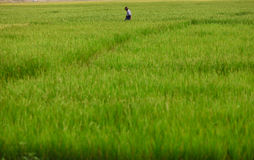 Rice paddy field with and a farmer Royalty Free Stock Photos