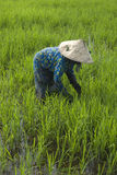 Rice Paddy Field Farmer. A lady rice paddy field farmer sowing the field in Kuala Selangor, Malaysia Stock Photo