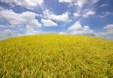 Rice paddy field. Green rice paddy field and blue sky Royalty Free Stock Images