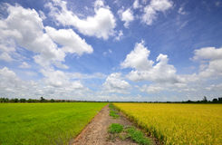 Rice paddy field. Green rice paddy field and blue sky Royalty Free Stock Photography