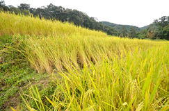 Rice paddy field. Green rice paddy field in Thailand Royalty Free Stock Images