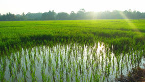 Rice Paddy Field royalty free stock photo
