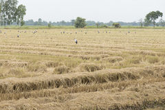 Rice paddy field after harvest. Royalty Free Stock Photography