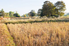 Rice paddy field after harvesting Stock Image