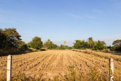 Rice paddy field after harvesting Stock Photo