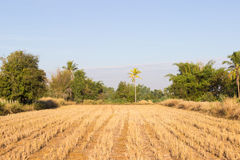 Rice paddy field after harvesting Royalty Free Stock Photography