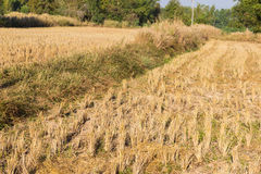 Rice paddy field after harvesting Royalty Free Stock Photo