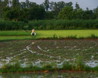 Rice Paddy Field in India and Some people Riding off on Their Motorbike. Rice Paddy Field in India with some people sharing a motorbike riding off away from the Royalty Free Stock Image