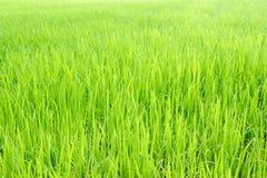 Rice paddy field Royalty Free Stock Photo