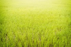 Rice paddy field Stock Photo