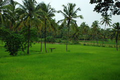 Rice paddy field - landscape Royalty Free Stock Photo