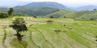 The rice paddy field Royalty Free Stock Photography