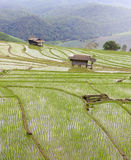 The rice paddy field Stock Photos