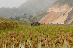 Rice paddy field in Sapa Vietnam royalty free stock images