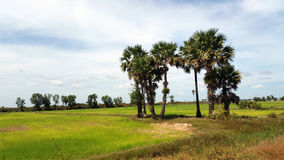 Rice Paddy Field, Siem Reap Royalty Free Stock Images