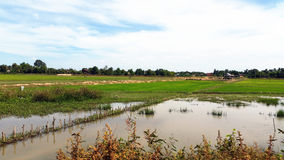 Rice Paddy Field, Siem Reap Royalty Free Stock Image