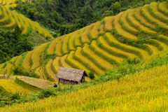 Rice paddy field Royalty Free Stock Image