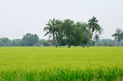 Rice paddy-field Royalty Free Stock Photo