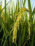 Rice. Paddy of rice field , Thailand Stock Photography