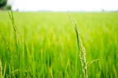 Rice in the Paddy Field, Thailand Stock Images