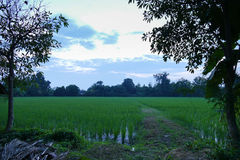Rice paddy field at twilight sunset Royalty Free Stock Images