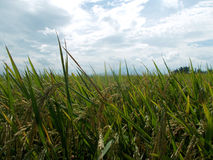 Rice or paddy field stock images