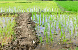 Rice in the paddy field. The young rice in the paddy field,Northern of Thailand Stock Photos