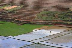 Rice Paddy Fields Stock Photos