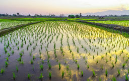 Rice paddy fields Stock Photos