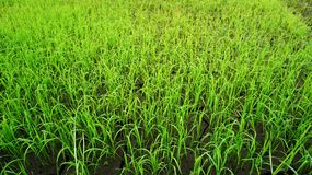 Rice paddy fields Royalty Free Stock Photos
