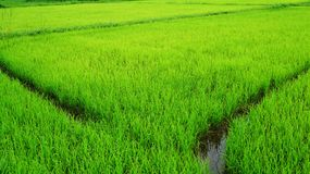 Rice paddy fields. Background in Thailand Royalty Free Stock Image