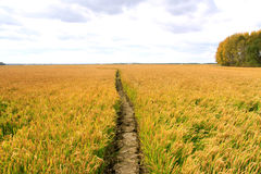 Rice paddy fields Royalty Free Stock Photo