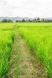 Rice Paddy Fields Royalty Free Stock Image