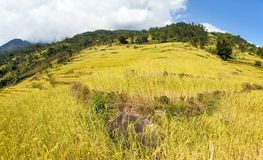 Rice or paddy fields in Nepal Himalayas stock photos