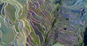 Rice paddy fields during spring. Ascending drone flight showing water-filled Hani Rice terrace fields during spring, when red duckweed and other water plants stock video