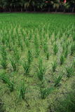 Rice Paddy Fields. The young rice in the paddy field Royalty Free Stock Images