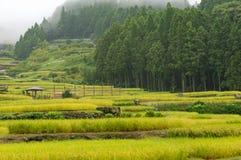 Rice paddy on foggy morning. With forest on the background. Yotsuya no Semmaida, Youtsuya, Japan Royalty Free Stock Images