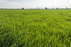 Rice paddy in front of Iko Mountain, Petchaburi, Thailand Stock Images