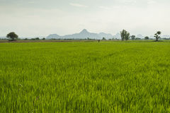Rice paddy in front of Iko Mountain, Petchaburi, Thailand Stock Photography